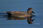 Anas-strepera;Duck;Gadwall;One;Reflection;avifauna;bird;birds;bluewater;color-im