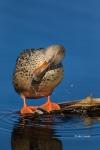 Anas-clypeata;Blue-Water;Female;Northern-Shoveler;One;Preening;Wing-Stretch;avif