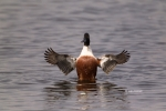 Anas-clypeata;Northern-Shoveler;One;avifauna;bird;birds;color-image;color-photog