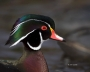 Wood-Duck;Duck;Aix-sponsa;portrait;one-animal;close-up;color-image;nobody;photog