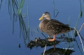 Mottled-Duck;Duck;Anas-fulvigula;One;one-animal;avifauna;bird;birds;feather;feat