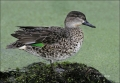 Florida;Southeast-USA;Green-winged-Teal;Duck;Female;Anas-crecca;one-animal;close