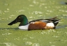 Southeast-USA;Florida;Duck;Northern-Shoveler;Anas-clypeata;one-animal;close-up;c
