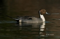 Northern-Pintail;Pintail;Duck;Anas-acuta;One;avifauna;bird;birds;feather;feather