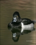 Ring-necked-Duck;Duck;Aythya-collaris;Male;one-animal;close-up;color-image;nobod