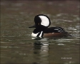 Hooded-Merganser;Merganser;Male;Lophodytes-cucullatus;one-animal;close-up;color-