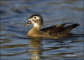 California;Southwest-USA;Wood-Duck;Duck;Female;Aix-sponsa;one-animal;close-up;co