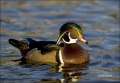California;Southwest-USA;Wood-Duck;Duck;Male;Aix-sponsa;one-animal;close-up;colo