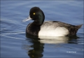 California;Southwest-USA;Lesser-Scaup;Scaup;Male;Aythya-affinis;one-animal;close
