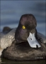 California;Southwest-USA;Lesser-Scaup;Scaup;Male;Aythya-affinis;portrait;one-ani