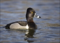 California;Southwest-USA;Ring-necked-Duck;Duck;Male;Aythya-collaris;one-animal;c