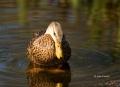 Florida;Southeast-USA;Mottled-Duck;Duck;One;one-animal;avifauna;bird;birds;feath