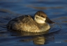 Ruddy-Duck;Oxyura-jamaicensis;one-animal;close-up;color-image;nobody;photography