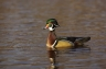 Wood-Duck;Duck;Aix-sponsa;one-animal;close-up;color-image;photography;day;outdoo