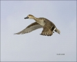 New-Mexico;Southwest-USA;American-Wigeon;Duck;Anas-americana;one-animal;close-up