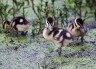 Black-bellied-Whistling-Duck;Chicks;Duck;Duckling;Dendrocygna-autumnalis;portrai