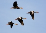 Black-bellied-Whistling-Duck;Duck;Flight;Dendrocygna-autumnalis;Flying-bird;One-