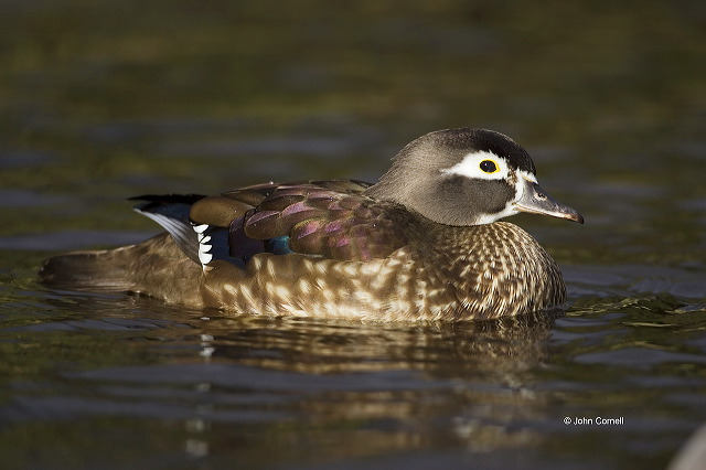 Wood Duck;Duck;Aix sponsa;one animal;close-up;color image;nobody;photography;day;outdoors. Wildlife;birds;animals in the wild;Female;avifauna;feathered;feathers;wilderness;perch;perching;watch;watchful