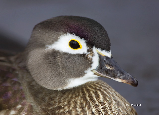 Wood Duck;Duck;Aix sponsa;portrait;one animal;close-up;color image;nobody;photography;day;outdoors. Wildlife;birds;animals in the wild;Female;avifauna;feathered;feathers;wilderness;perch;perching;watch;watchful