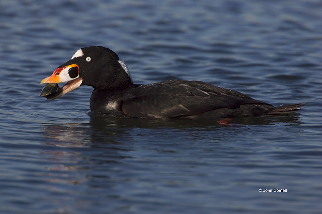 Surf Scoter;Scoter;Melanitta perspicillata;one animal;close-up;color image;nobody;photography;day;outdoors. Wildlife;birds;animals in the wild;avifauna;feathered;feathers;wilderness;perch;perching;watch;Prey;feeding behavior;foraging;feeding;prey;watchful