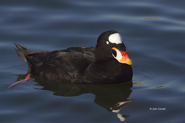 Surf Scoter;Scoter;Melanitta perspicillata;one animal;close-up;color image;nobody;photography;day;outdoors. Wildlife;birds;animals in the wild;avifauna;feathered;feathers;wilderness;perch;perching;watch;watchful