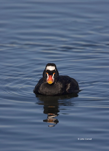 Surf Scoter;Scoter;Melanitta perspicillata;one animal;close-up;color image;nobody;photography;day;birds;animals in the wild;avifauna;feathered;feathers;wilderness;perch;perching;watch;Flying bird;One animal;Close-up;Color image;Outdoors;Wildlife;Birds;Animals in the wild;action;active;aloft;in flight;motion;movement;soar;soaring;winged;wings;behavior;watchful;outdoors;Close up;close up