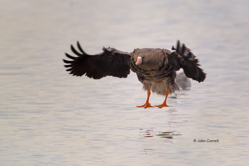 Anser albifrons;Flying Bird;Greater White-fronted Goose;Landing;Photography;White-fronted Goose;action;active;aloft;behavior;birds;color image;flight;fly;flying;in flight;motion;movement;one animal;soar;soaring;wing;winged;wings