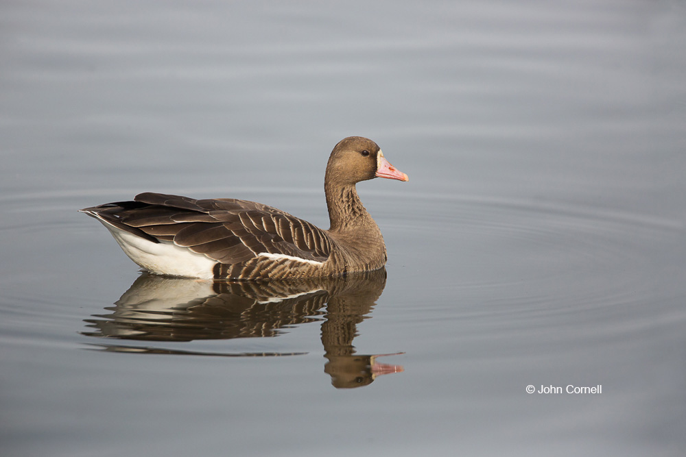 Anser albifrons;Greater White-fronted Goose;White-fronted Goose;one animal;close up;wildlife;birds;Goose;waterfowl;animals in the wild;day