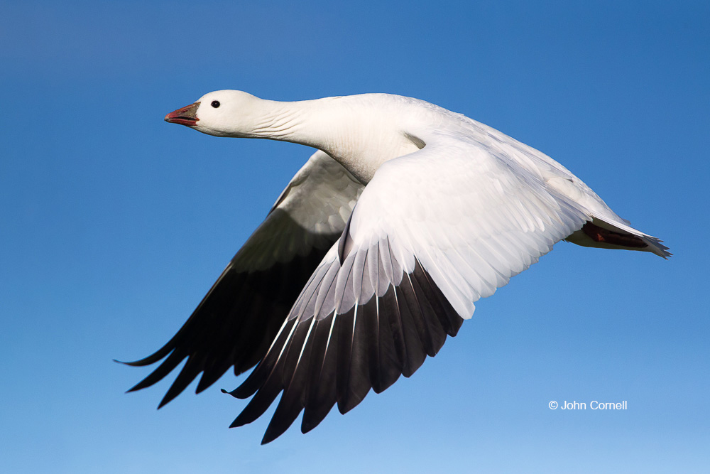 California;Chen rossii;Flying Bird;Goose;Photography;Ross Goose;Ross's Goose;action;active;aloft;behavior;birds;blue goose;color image;flight;fly;flying;in flight;motion;movement;one animal;soar;soaring;wing;winged;wings