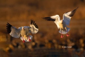 California;Chen-rossii;Colusa-National-Wildlife-Refuge;Goose;One;Ross-Goose;Ross