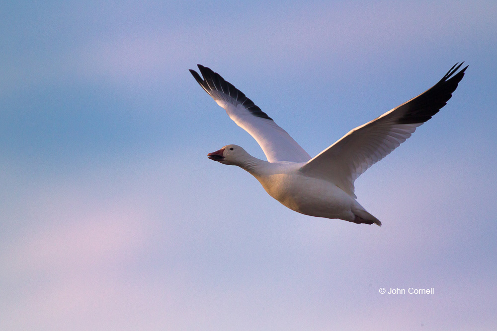 Chen caerulescens;Flying Bird;Goose;Photography;Snow Goose;action;active;aloft;behavior;birds;color image;flight;fly;flying;in flight;motion;movement;one animal;soar;soaring;wing;winged;wings