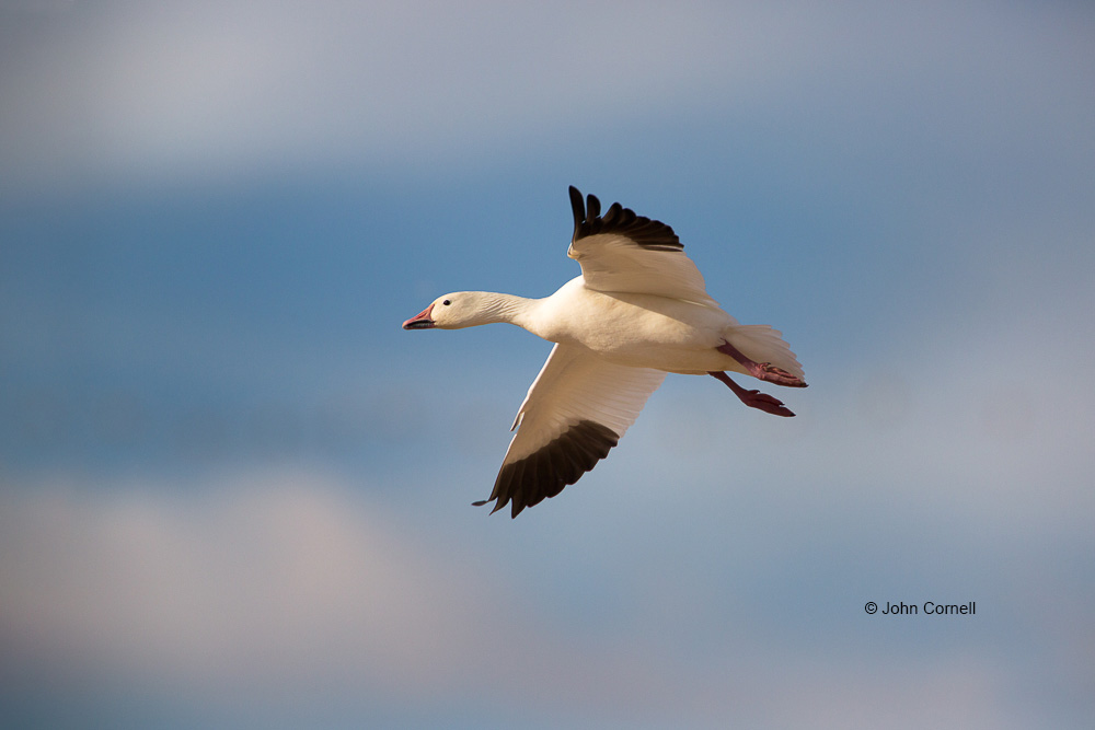 Chen caerulescens;Goose;Snow Goose;flight;one animal;color image;bird in flight;wildlife;birds