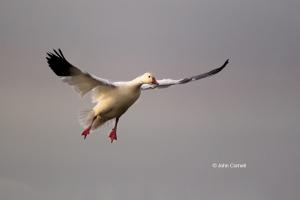 California;Chen-caerulescens;Colusa-National-Wildlife-Refuge;Goose;One;Snow-Goos