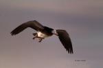 Blue-Morph;Bosque-del-Apache-National-Wildlife-Refuge;Chen-caerulescens;Flying-B