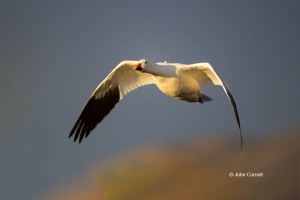 Chen-caerulescens;Flying-Bird;Goose;Photography;Snow-Goose;action;active;aloft;b