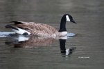 Branta-canadensis;Canada-Goose;Goose;One;Yellowstone-National-Park;avifauna;bird