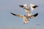 Animals-in-the-Wild;Chen-caerulescens;Flying-Birds;Goose;Photography;Snow-Goose;