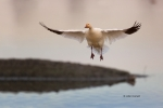 Chen-caerulescens;Flying-Bird;Goose;One;Photography;Snow-Goose;action;active;alo
