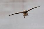Blue-Morph;Chen-caerulescens;Flying-Bird;Goose;Photography;Snow-Goose;action;act