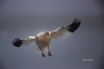 Chen-caerulescens;Flying-Bird;Goose;Photography;Snow-Goose;Waterfowl;action;acti