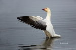 Chen-caerulescens;Goose;One;Snow-Goose;avifauna;bird;birds;color-image;color-pho