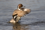 Anas-acuta;Duck;Male;Northern-Pintail;One;avifauna;bird;birds;color-image;color-