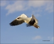 New-Mexico;Southwest-USA;Snow-Goose;Goose;Flight;Chen-caerulescens;flying-bird;o