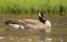 Canada-Goose;Goose;Branta-canadensis;one-animal;close-up;color-image;photography