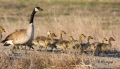 Goose;Branta-canadensis;Canada-Goose;Parent;Chick;bond;bonding;family;innocent;j