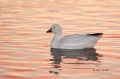 Snow-Goose;Goose;Chen-caerulescens;One;one-animal;avifauna;bird;birds;feather;fe