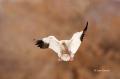 Snow-Goose;Goose;Chen-caerulescens;One;one-animal;avifauna;bird;birds;feather;fe