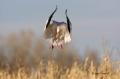 Snow-Goose;Goose;Chen-caerulescens;Flying-bird;action;aloft;behavior;flight;fly;