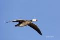 Snow-Goose;Goose;Chen-caerulescens;Flight;Flying-bird;action;aloft;behavior;flig