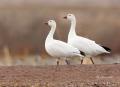 Snow-Goose;Goose;Chen-caerulescens;One;two-animals;avifauna;bird;birds;feather;f